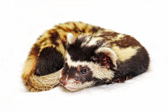 Marbled polecat (Vormela peregusna) lie on white cloth. Royalty Free Stock Photos