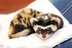 Marbled polecat (Vormela peregusna) lie on white cloth. Stock Photos