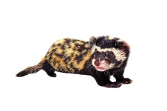 Marbled polecat (Vormela peregusna) on white background. Stock Photos