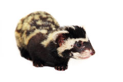 Marbled polecat (Vormela peregusna) on white cloth background. Stock Photo