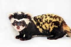 Marbled polecat (Vormela peregusna) on white fabric background. Stock Photos