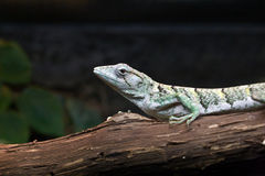 Marbled Prehensile-Tailed Lizard. Polychrus marmoratus. Marbled Prehensile-Tailed Lizard in captivity. Native range consists of Amazonia, East Brazil, and Stock Photo