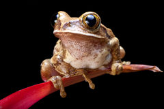 Marbled reed frog. Or painted reed frog on a red plant Royalty Free Stock Image