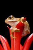 Marbled Reed Frog Stock Image