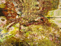 Marbled rock crab underwater Stock Image
