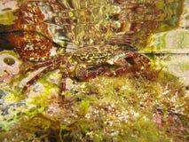 Marbled rock crab underwater Stock Image