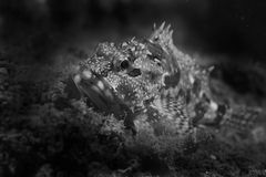 Marbled Rockfish-Sebastiscus marmoratus Royalty Free Stock Photo