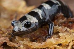 Marbled salamander Stock Image