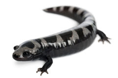 Marbled Salamander, Ambystoma opacum Royalty Free Stock Photography
