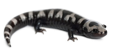 Marbled Salamander, Ambystoma opacum Royalty Free Stock Image