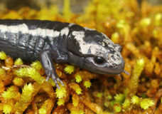 Marbled Salamander Stock Images
