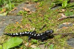 Marbled Salamander Stock Photos