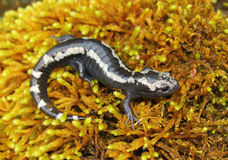 Marbled Salamander Royalty Free Stock Photography