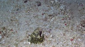 Marbled snake eel Callechelys marmoratus in Lembeh strait stock video footage
