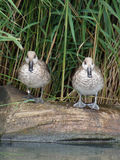 Marbled Teal Stock Image