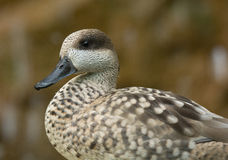 Marbled Teal Stock Photography