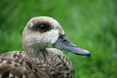 Free Marbled Teal Duck Stock Photography - 150132622