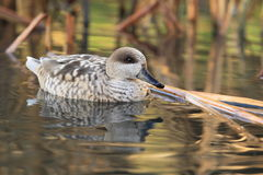 Marbled teal Royalty Free Stock Photo