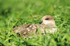 Marbled teal Royalty Free Stock Photography