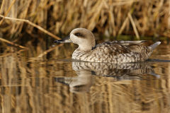 Marbled teal, Marmaronetta angustirostris Stock Images