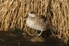 Marbled teal, Marmaronetta angustirostris Stock Photo