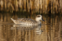 Marbled teal, Marmaronetta angustirostris Royalty Free Stock Image