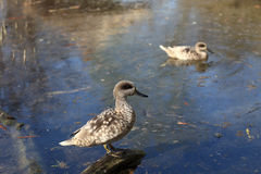 Marbled teal. In the swamp in zoo Stock Image