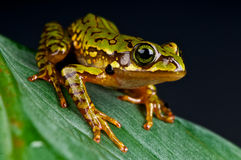 Marbled tree-frog Stock Photography