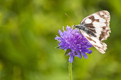 Marbled White Stock Photo