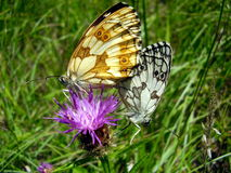 Marbled White Butterflies Mating Stock Image