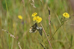Marbled white butterflies. A pair of marbled white butterflies (Melanargia galathea) on the stem of a yellow flower Stock Image