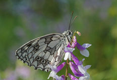 Marbled white butterfly Stock Image