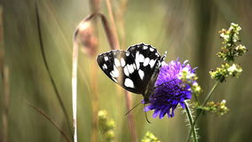 Marbled White butterfly Royalty Free Stock Photos