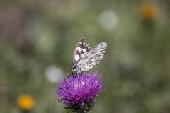 Marbled white butterfly on flower. Marbled white butterfly - melanargia galathea on flower stock photo