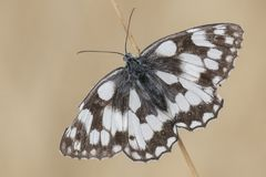 A marbled white butterfly on Southampton Common stock photography