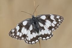 A marbled white butterfly on Southampton Common royalty free stock image