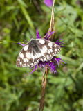 Marbled white butterfly Stock Photos