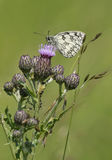 Marbled White Butterfly - Melanargia galathea Stock Photography