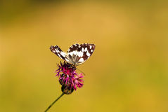 Marbled white butterfly (Melanargia galathea) Royalty Free Stock Images