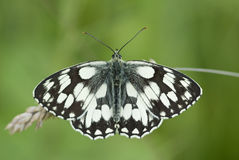 Marbled white butterfly, Melanargia galathea Royalty Free Stock Photos