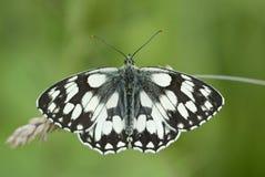 Marbled white butterfly, Melanargia galathea. On grass stems Royalty Free Stock Photos