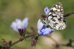 Marbled White butterfly - Melanargia galathea. Beautiful black and white butterfly from European meadows Stock Photos
