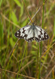 Marbled White Butterfly Royalty Free Stock Photography