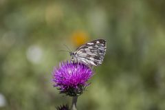 Marbled white butterfly on flower. Marbled white butterfly - melanargia galathea on flower royalty free stock photos