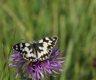 Marbled White Butterfly ( Melanargia galathea). This image is of a marbled white butterfly at rest upon a purple flower. against a backdrop of out-of-focus green Stock Photo