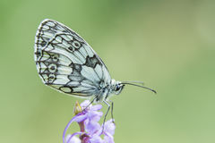 Marbled White Butterfly Stock Images