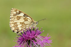 A Marbled White Butterfly Melanargia galathea nectaring on a Greater Knapweed Centaurea scabiosa flower. Stock Photos