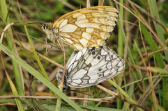 Marbled White Butterfly Stock Photography