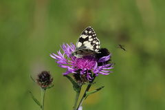 Marbled White Butterfly ( Melanargia galathea). This is a picture of a marbled white butterfly settled on a purple flower, against a background of out-of-focus Stock Images