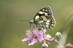 Marbled White butterfly (Melanargia galathea) on pink flower. Pr Stock Photography
